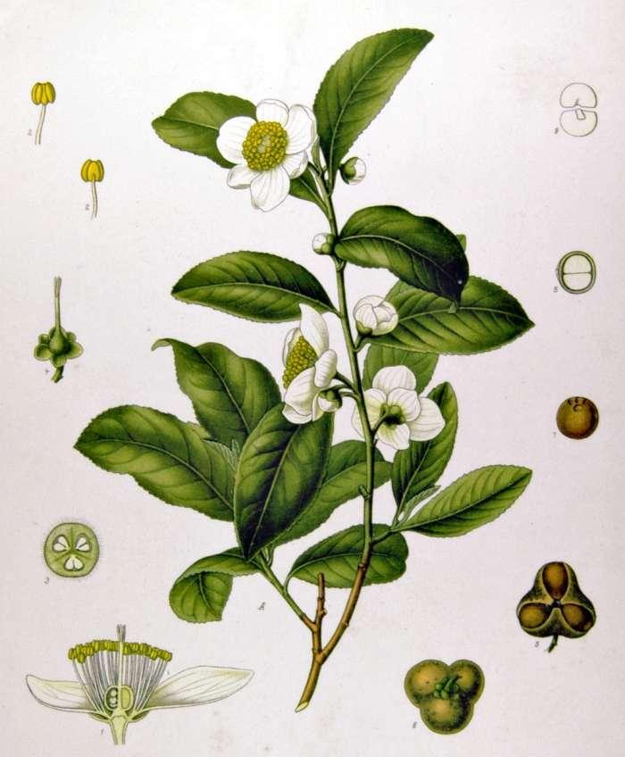 Čajovník čínský čili Camellia sinensis
